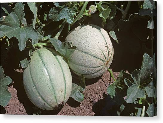 Canteloupes Canvas Print - Ripe Cantaloupe by Nigel Cattlin
