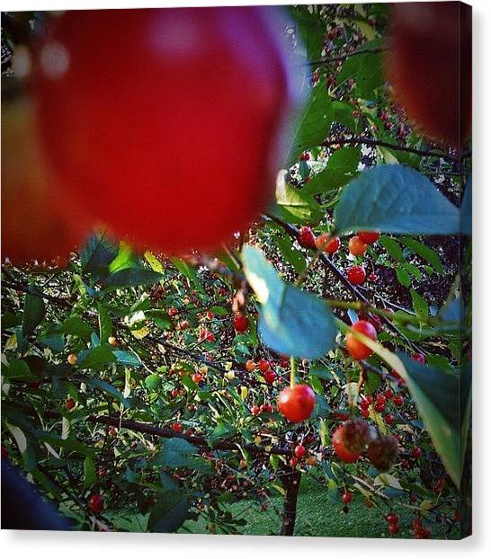 Vermont Canvas Print - Ripe For The Picking. #cherries by James Whaley Cart