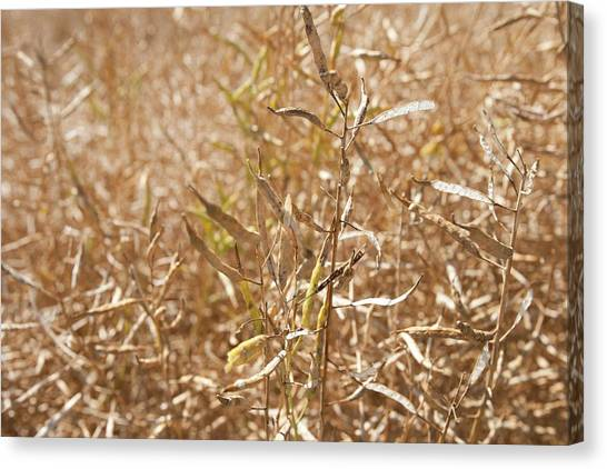 Ripe Rapeseed Crop Canvas Print by Lewis Houghton/science Photo Library
