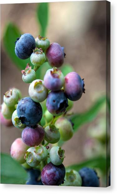Ripening Blueberries Canvas Print