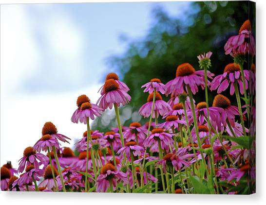 Rising Echinacea Canvas Print