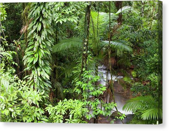 Daintree Rainforest Canvas Print - River In The Daintree Rainforest by Ashley Cooper