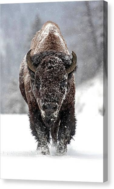 Bison Canvas Print - Road Warrior by Sandy Sisti