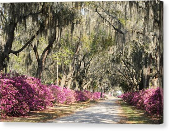 Road With Azaleas And Live Oaks Canvas Print