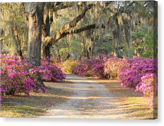 Road With Live Oaks And Azaleas Canvas Print