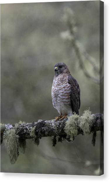 Roadside Hawk On Lichen-covered Branch 1 Canvas Print