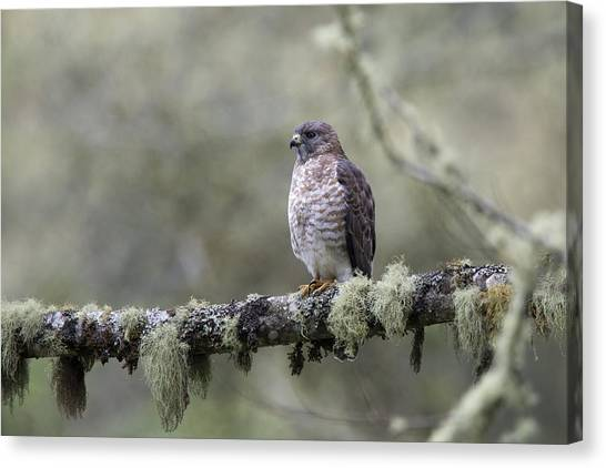 Roadside Hawk Perched On A Lichen-covered Branch 2 Canvas Print