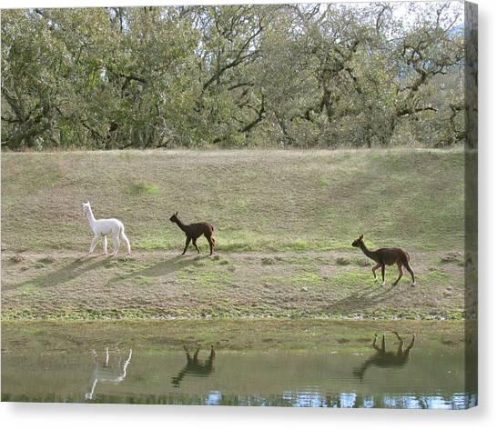 Roaming Alpacas Canvas Print