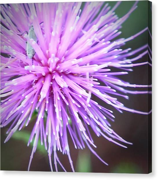 Robert Melvin - Fine Art Photography - Bug And Thistle Canvas Print