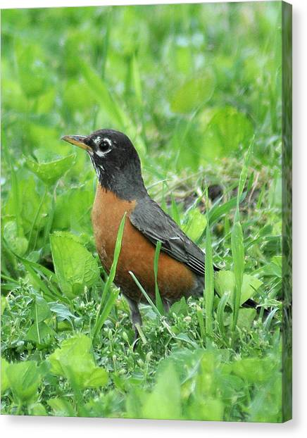 Robin 370 Canvas Print