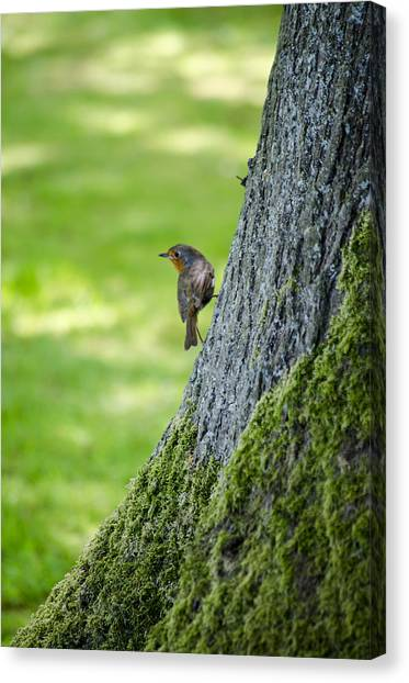 Robin At Rest Canvas Print