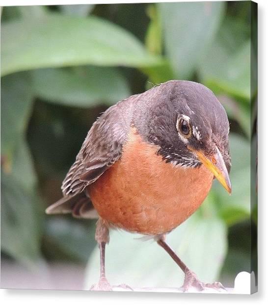 Robins Canvas Print - #robin #bird #birds #birdfreaks by Robb Needham