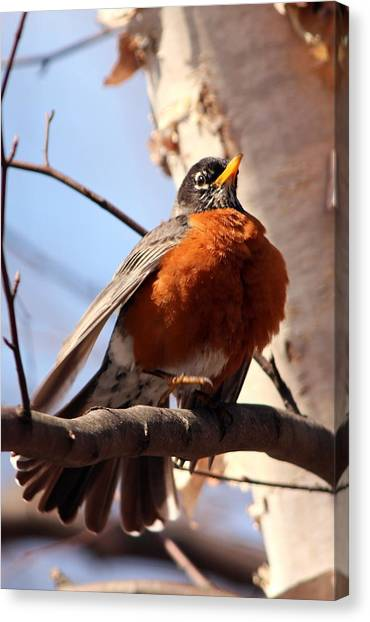 Robin Bird Canvas Print by Diane Rada