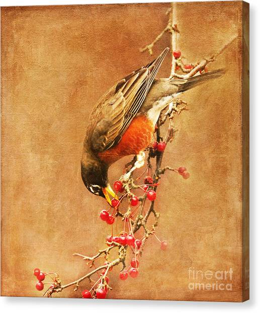 Robin Eating Berries Canvas Print