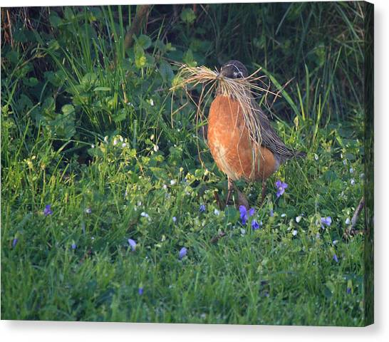 Robin Gathering For Nest Canvas Print