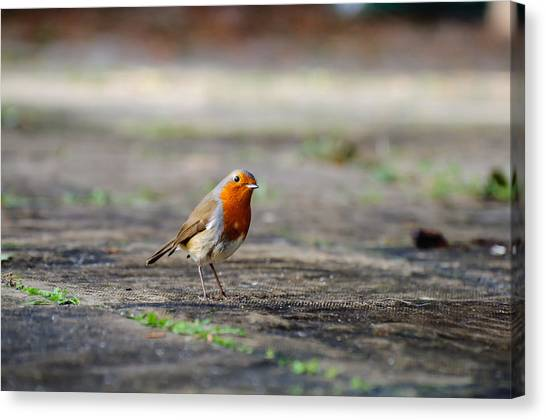 Robin Canvas Print by Ivelin Donchev