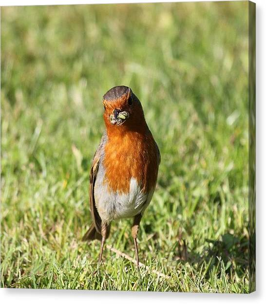 Robins Canvas Print - Robin Lookin At You #robin #outside by Unique Louise