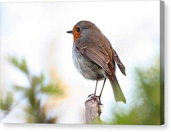 Robin On A Pole Canvas Print