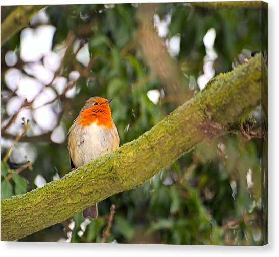 Robin On Branch Canvas Print by Dave Woodbridge