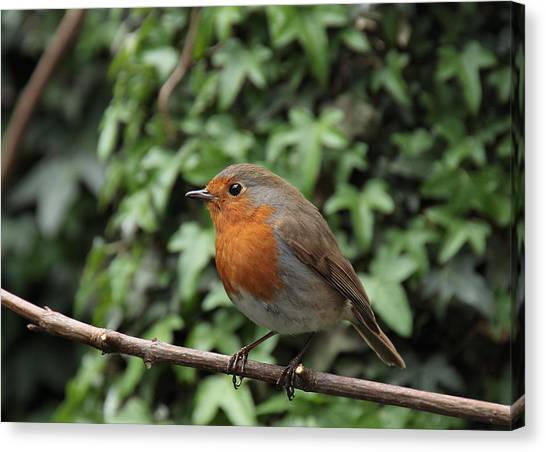 Robin Canvas Print by Peter Skelton