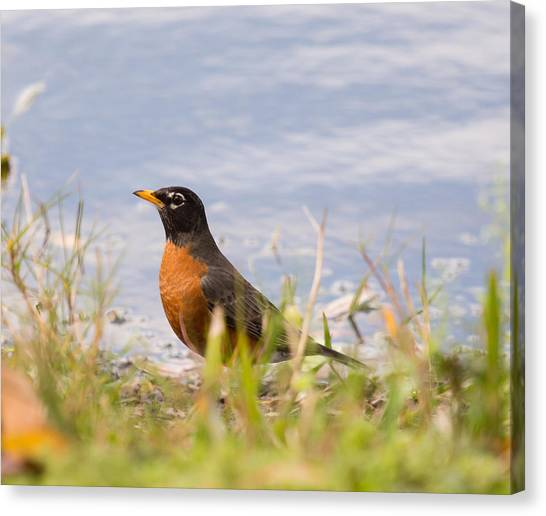Robin Viewing Surroundings Canvas Print