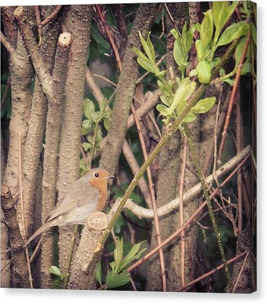 Robins Canvas Print - Robin Visiting #sutro #robin #bird by Unique Louise