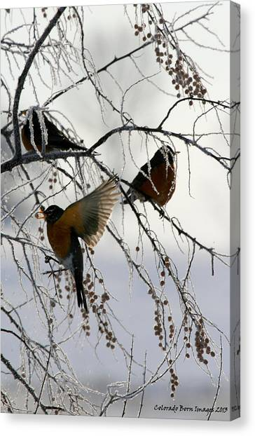 Robins Cold Breakfast Canvas Print by Rebecca Adams