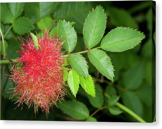 Robin's Pincushion Gall Or Bedeguar Gall Canvas Print by Nigel Downer