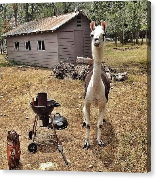 Llamas Canvas Print - Rocco Is Ready To Grill. #4th #llama by Erica Kuschel