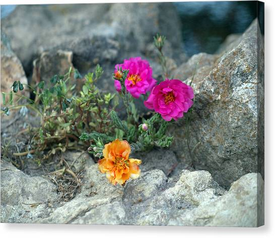 Rock Rose Canvas Print by Corina Bishop