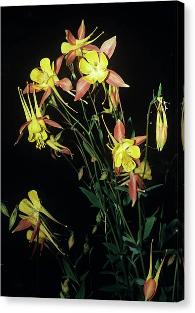 Rocky Mountain Columbine Flowers Canvas Print by Brian Gadsby/science Photo Library