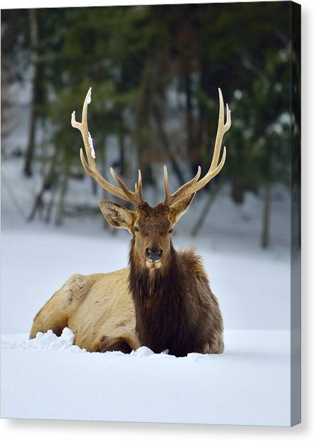 Rocky Mountain Elk Canvas Print