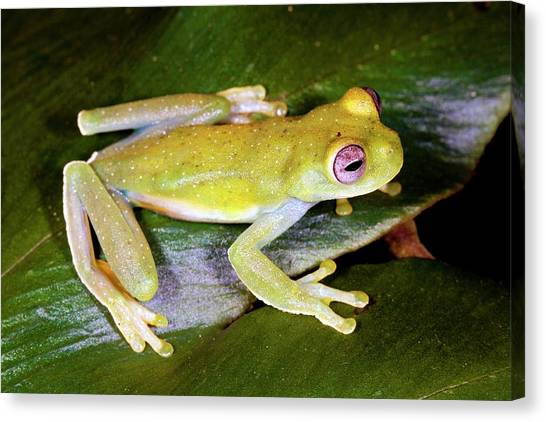 Amazon Rainforest Canvas Print - Rogue Treefrog by Dr Morley Read/science Photo Library