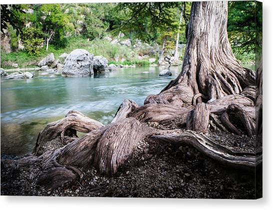 Spring Canvas Print - Rolling Roots Of A Bald Cypress - Texas by Ellie Teramoto