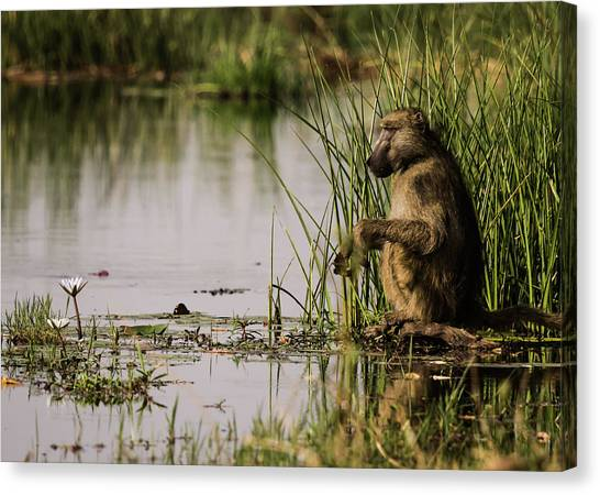 Okavango Swamp Canvas Print - Romantic Baboon by Cedric Favero - Vwpics