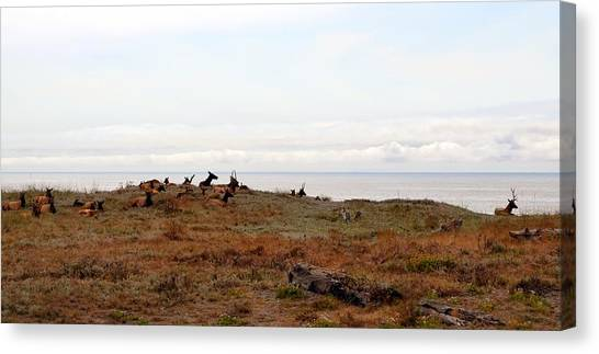 Roosevelt Elk And The Ocean Canvas Print