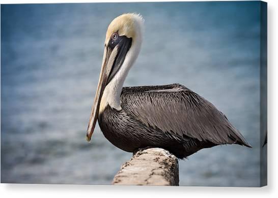 Roosting Pelican Canvas Print