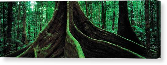 Daintree Rainforest Canvas Print - Roots Of A Giant Tree, Daintree by Panoramic Images