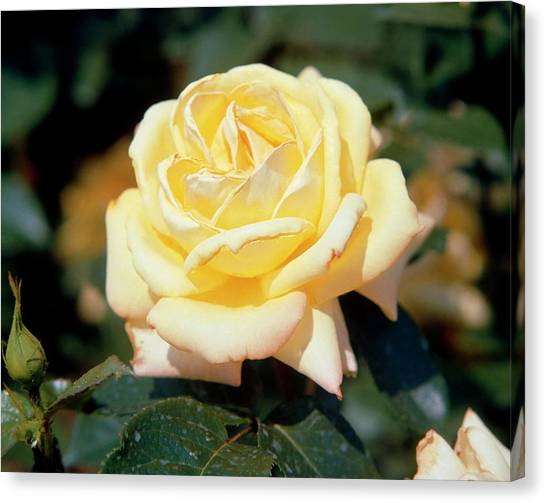 Grandpa Canvas Print - Rosa Grandpa Dickson by Science Photo Library