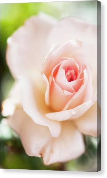 Floribunda Canvas Print - Rosa 'johann Strauss' Flower by Maria Mosolova