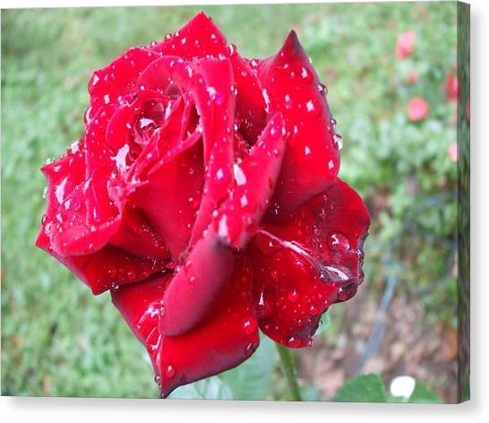 Rosa Rossa Canvas Print by Michel Croteau