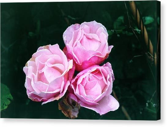 Queen Elizabeth Canvas Print - Rosa The Queen Elizabeth by Maurice Nimmo/science Photo Library
