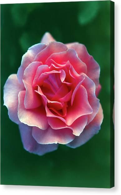 Queen Elizabeth Canvas Print - Rosa The Queen Elizabeth by Ron Bonser/science Photo Library