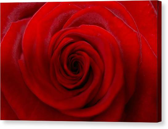 Rose 5 Canvas Print by Kennith Mccoy