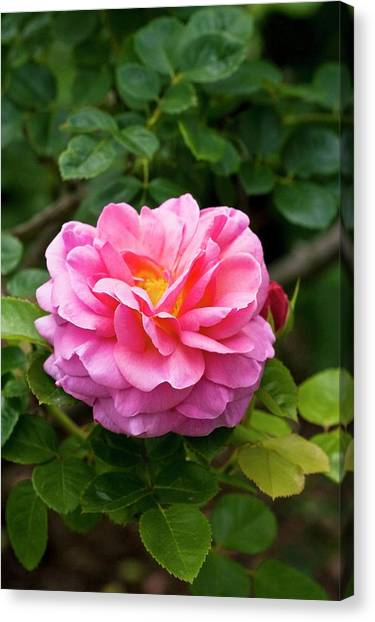 Tea Leaves Canvas Print - Rose 'aloha' Flower by Dan Sams/science Photo Library