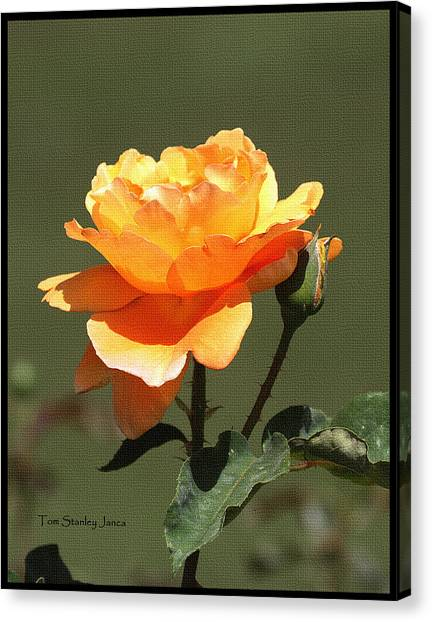 Mcc Canvas Print - Rose And Bud At Mcc by Tom Janca
