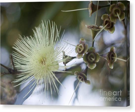 Rose Apple Blossom Canvas Print