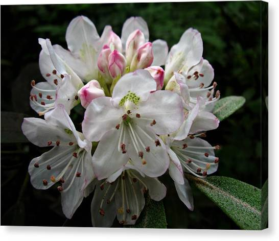 Rose Bay Rhododendron Canvas Print