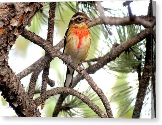 Rose-breasted Grosbeak Canvas Print
