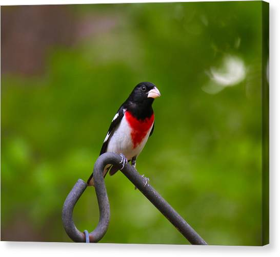 Canvas Print featuring the photograph Rose Breasted Grosbeak by Robert L Jackson